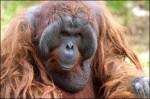 orang outans.jpg